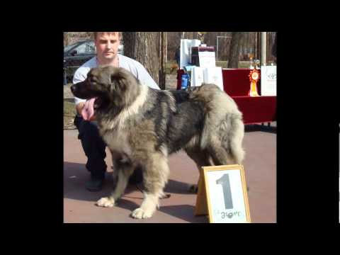 04.2012 Caucasian ovcharka, Caucasian Mountain dog part 4