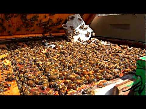 Honey Bee Colony Collapse Disorder