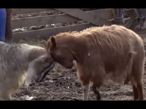 Pur și Simplu: Европейское козоводство в Томае