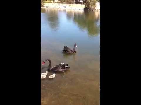Angry birds Australian black swan