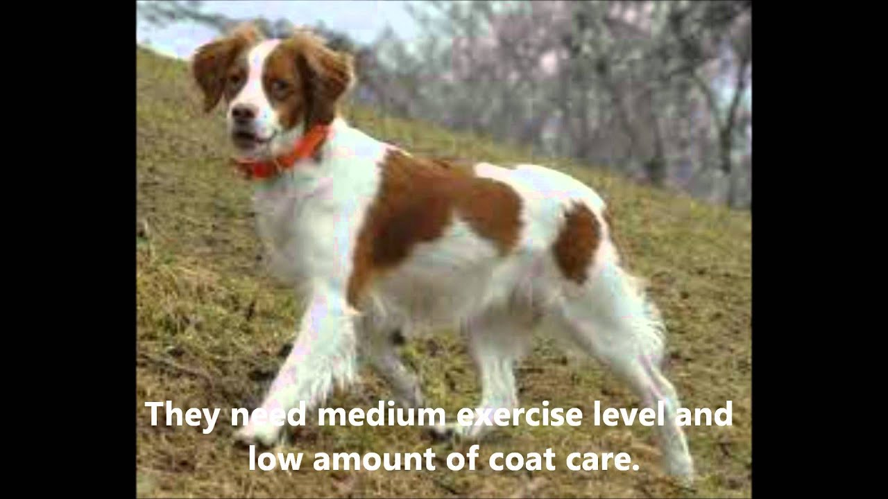 Pictures Of Brittany Spaniel Dogs