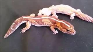 African Fat Tail Geckos!