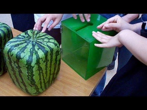 The Amazing Square Water Melons in Japan