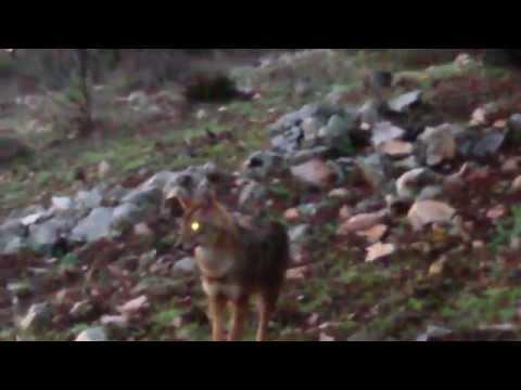 Природа и жизнь.Раненый волк ко мне подошёп....