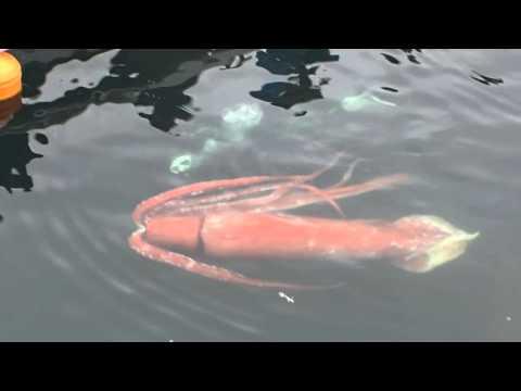 Calamar gigante causa sensación en un puerto de Japón