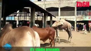 VIP shade | Bulls of Gabtoli Haat | Dhaka | Bangladesh | ZbGH 2017
