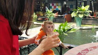 Monkey Baby Nui   Father and mother let Nui go out