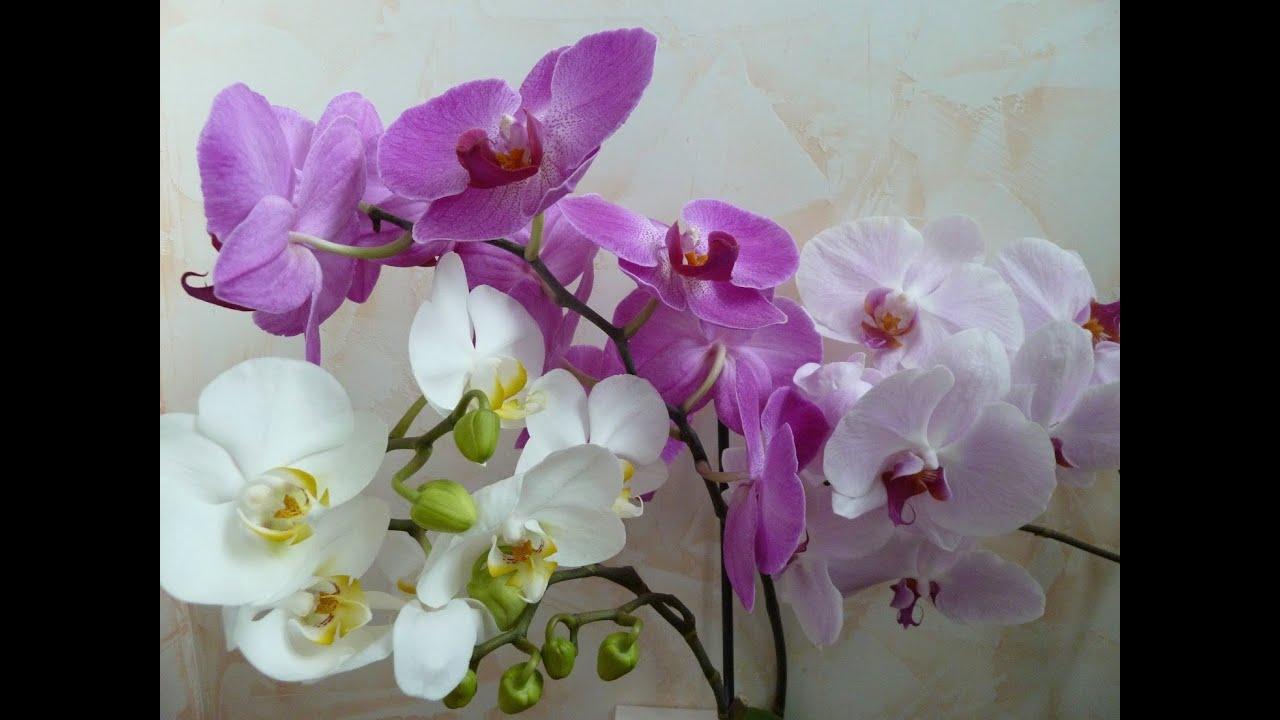 Орхидеи домашние в горшке. Уход в домашних условиях 18