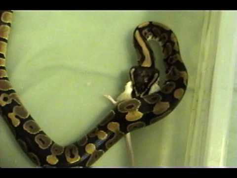 feeding my baby python Taz Video