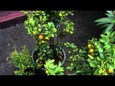 Miniature Orange Trees Loaded down with Oranges, Silom Road, Bangkok