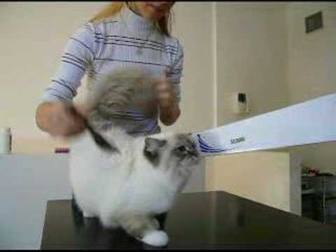 A Sacred Birman cat after bath Video