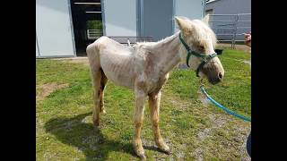 Breathtaking Before and After of a Palomino Filly nearly starved to Death