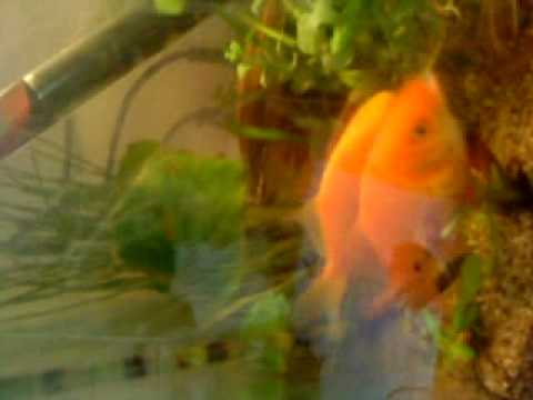 Reproduction de poisson rouge youtube for Reproduction poisson rouge bassin