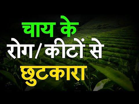 Baatein Kheti Ki: Chay Ki Kheti Me Lagne Wale Rog Aur Keet - Full Episode Green TV
