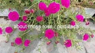13. About moss rose /portulaca/phulwari