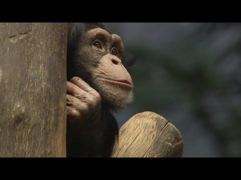 Neue Schimpansin in Leipzig