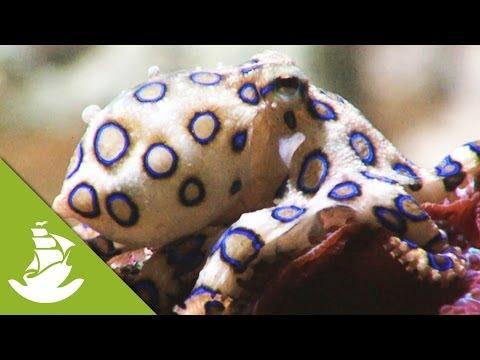 Poisonous Octopus Fight