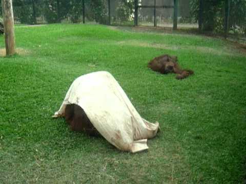 ホノルル動物園のファンキーなオラウータン−2
