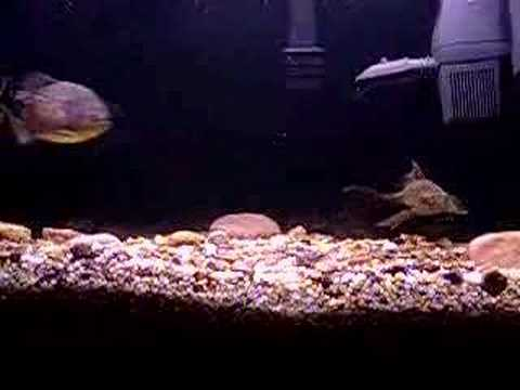 Pleco attacking piranhas
