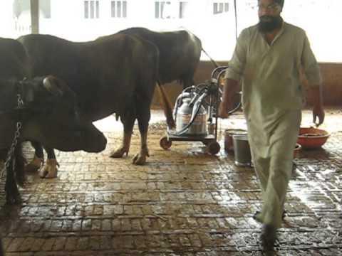 buffalo milking machine by milkwell