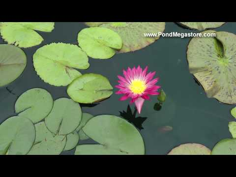 Charlie's Pride Waterlily, Charles Winch Collection of Tropical Waterlilies, deep Red