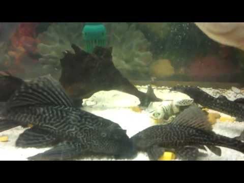 Oscar balığı, astronot balığı, piranha, vatoz, akvaryum II