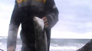 SAROZ LEVREK AVI ( SEA BASS ) GELİBOLU