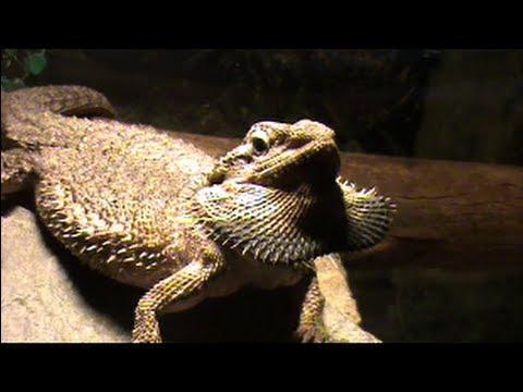 Dragon With Beard Bearded dragon puffing...