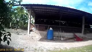 Romana Farm - duck farm in San Juan, Apalit, Pampanga, Philippines