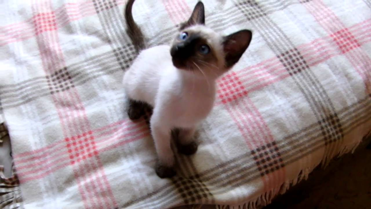 Pictures Of Baby Siamese Cats