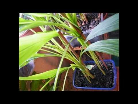 ZenSu 2013: Growing Turmeric & Galangal Indoors