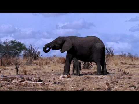 Elephants eat Baobab Tree | Baby elephant drinking at mother | Tanzania Safari in Tarangire