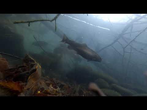 Подводная сьемка Форель и Карп обитание в естественной среде №1