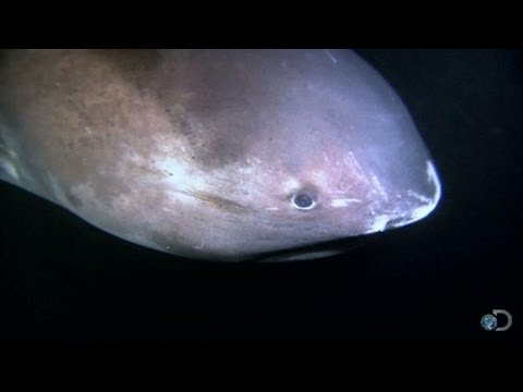 Alien Sharks: The Megamouth | Shark Week 2013