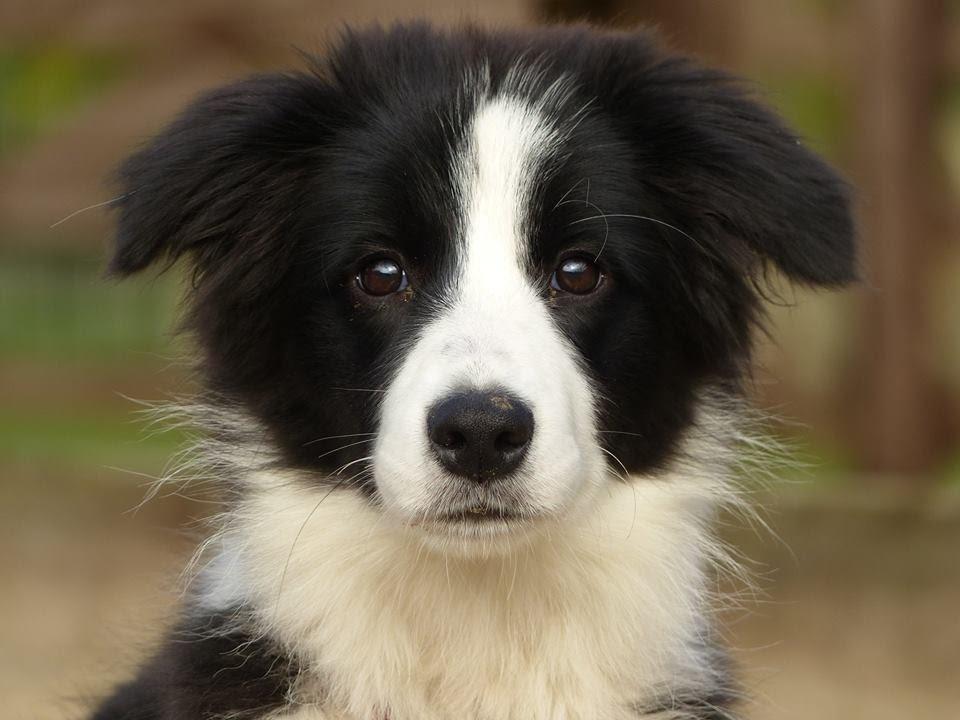 Daisy   Border Collie Puppy   2 Week Residential Dog ...