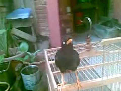 Kicau Burung Jalak Free MP4 Video Download - 1