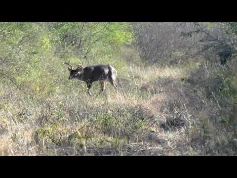 Venado Cazado El 22 De Enero De 2011 Linares N.l.