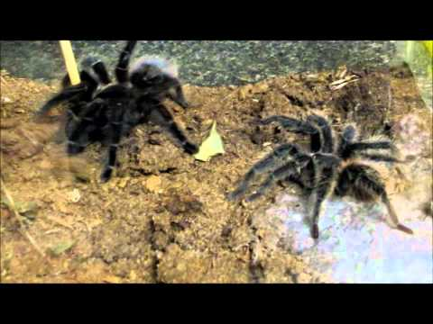 The Reptile Guy - Salmon Pink Bird Eating Tarantulas Mating