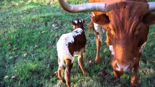 New longhorn, just born two hours ago.