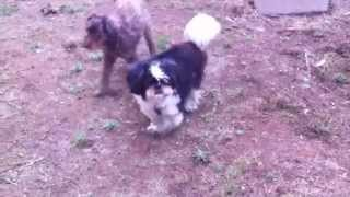 Old blind dog turning circles sad