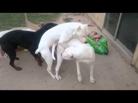 Female dog in Heat!!!