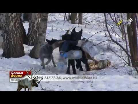 Дрессировка стаи собак, овчарка и малинуа тренируют хилера, развитие хватки и смелости