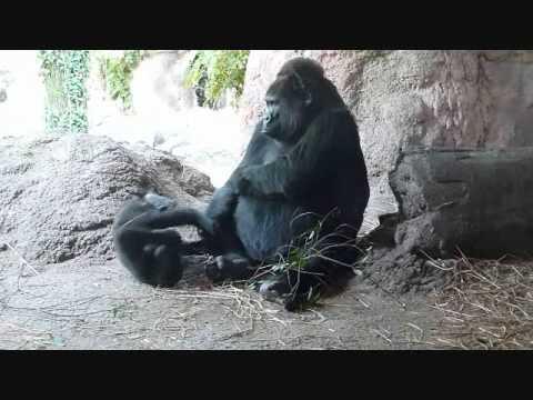 上野動物園ゴリラ_赤ちゃんコモモ、叔母ちゃんと遊ぼう(トトさん編)