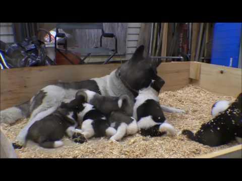 Akita puppies: 26 days old