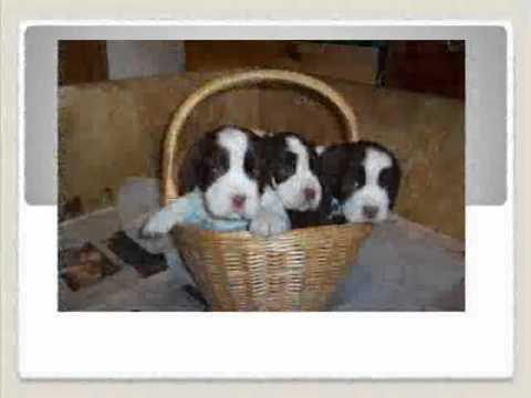 english springer spaniel shout out Video