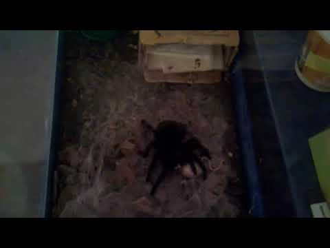 Spider Black vs Mouse