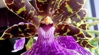 Orchid Care and culture : tips on potting, watering and re-blooming Zygopetalum and similar Orchids