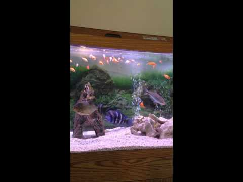 Barracuda vs piranha