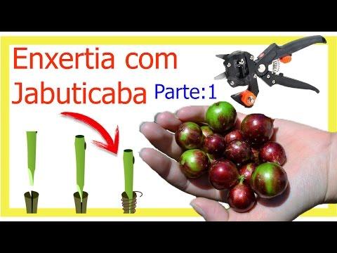 ( ENXERTO ) COM JABUTICABA PASSO A PASSO (( PARTE 1 ))
