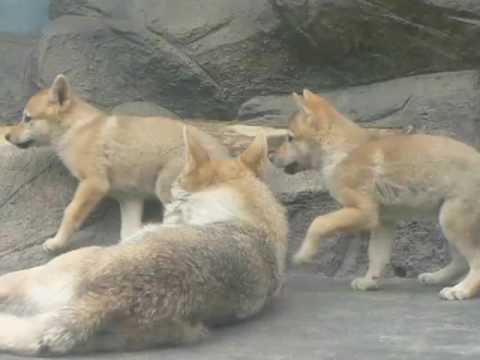 天王寺動物園 チュウゴクオオカミ-2009.05.16-1